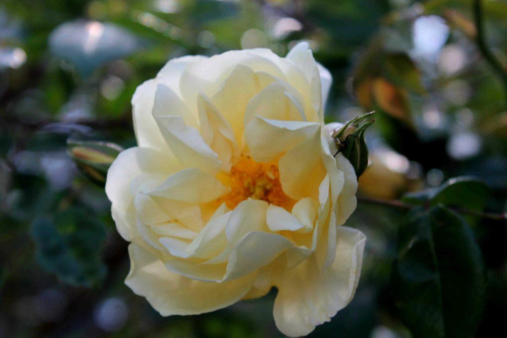 yellow IMG_6272
