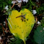 yellow heart leaf IMG_6582