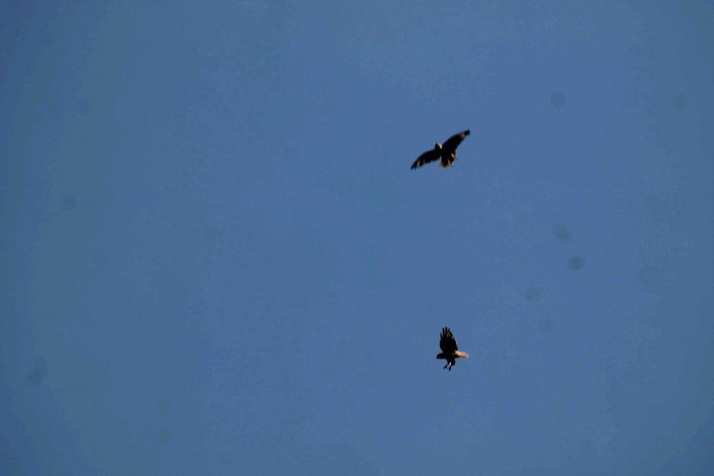 blue hawks IMG_7023