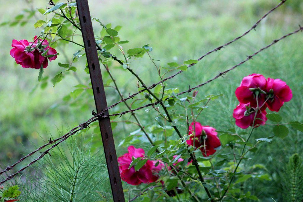 pink IMG_7126