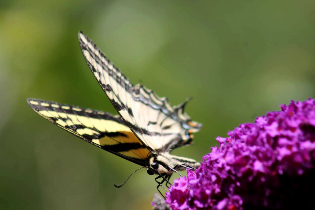 swallowtail IMG_7401