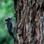 woodpecker IMG_7608