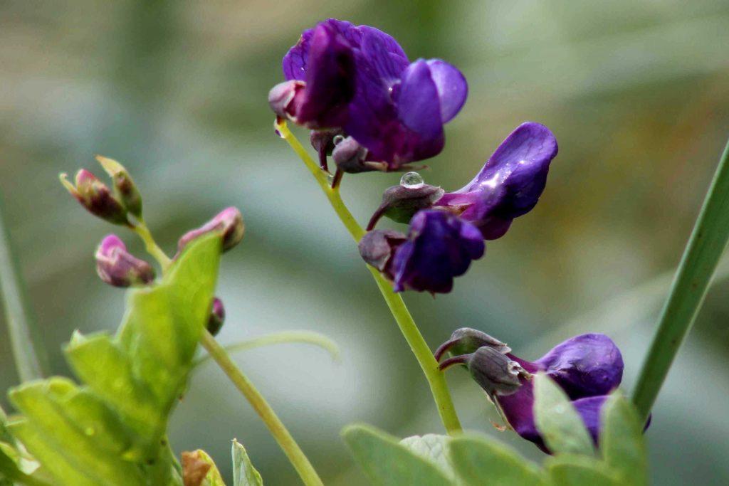 purple IMG_8647