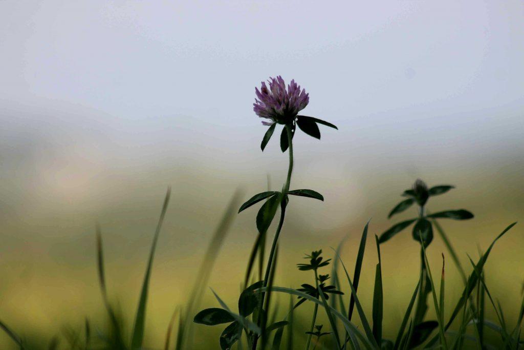 clover-img_0055