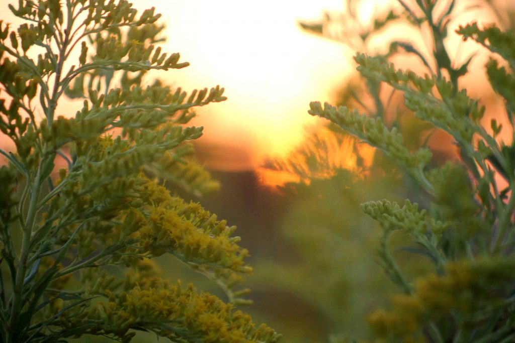 goldenrod-sunset-img_0153