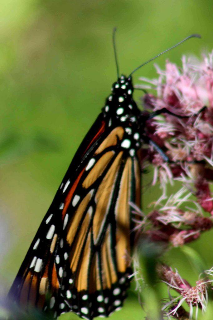 monarch-img_0242