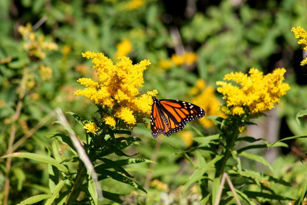 monarch-img_0410