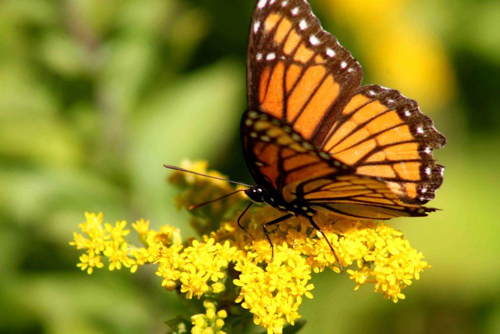monarch-img_1010