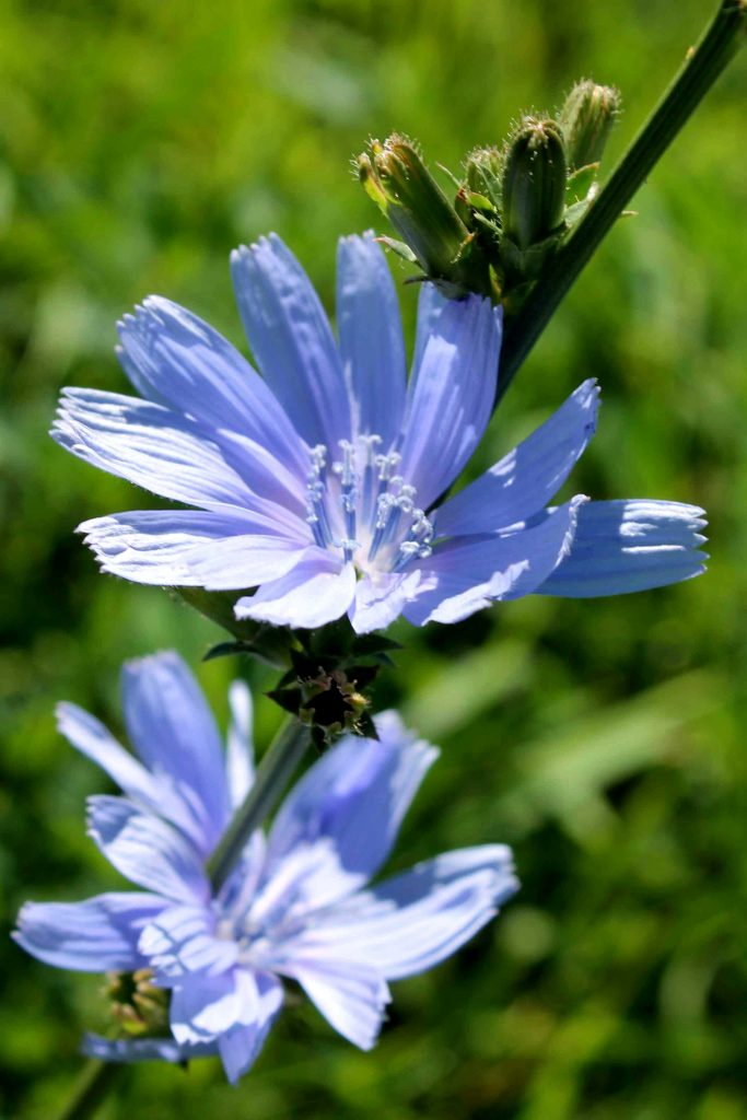 periwinkle-chicory-img_0168