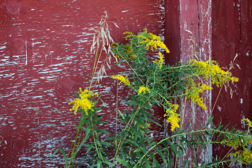 red-with-goldenrod-img_0236
