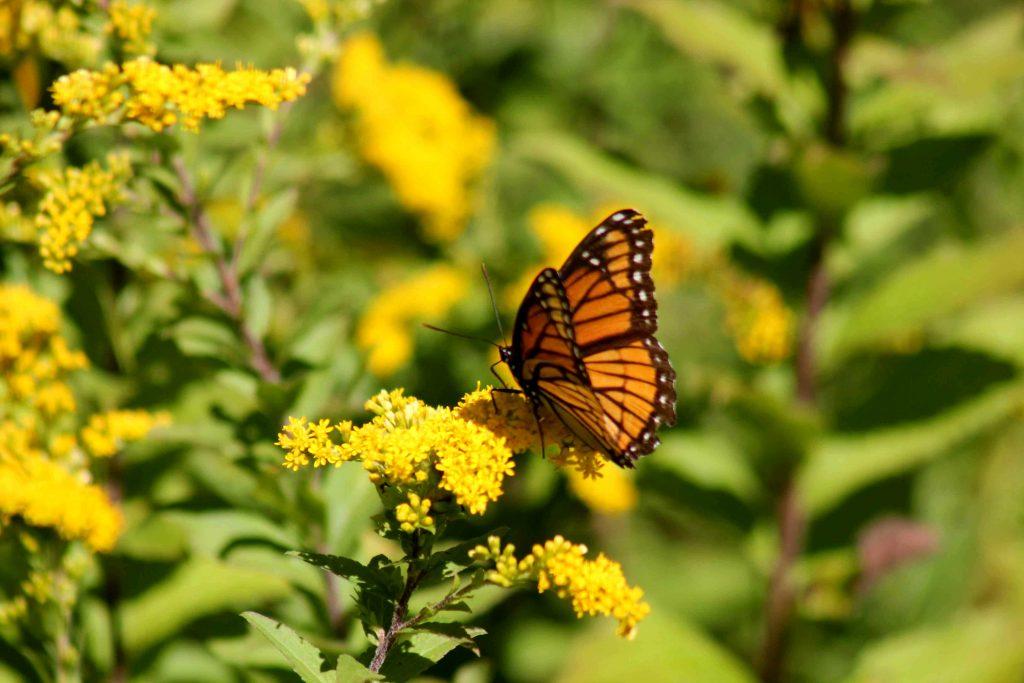 monarch-img_1005