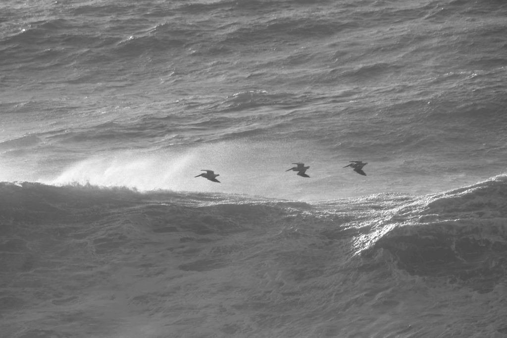 bw-pelicans-img_2004