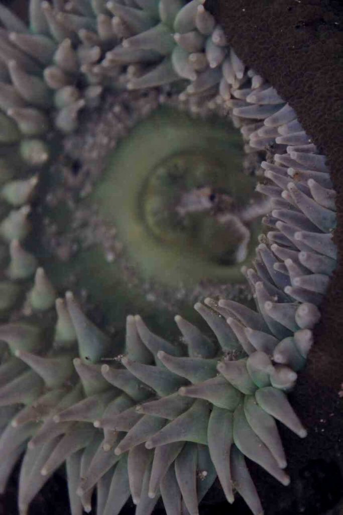 sea anemone partly folded inward