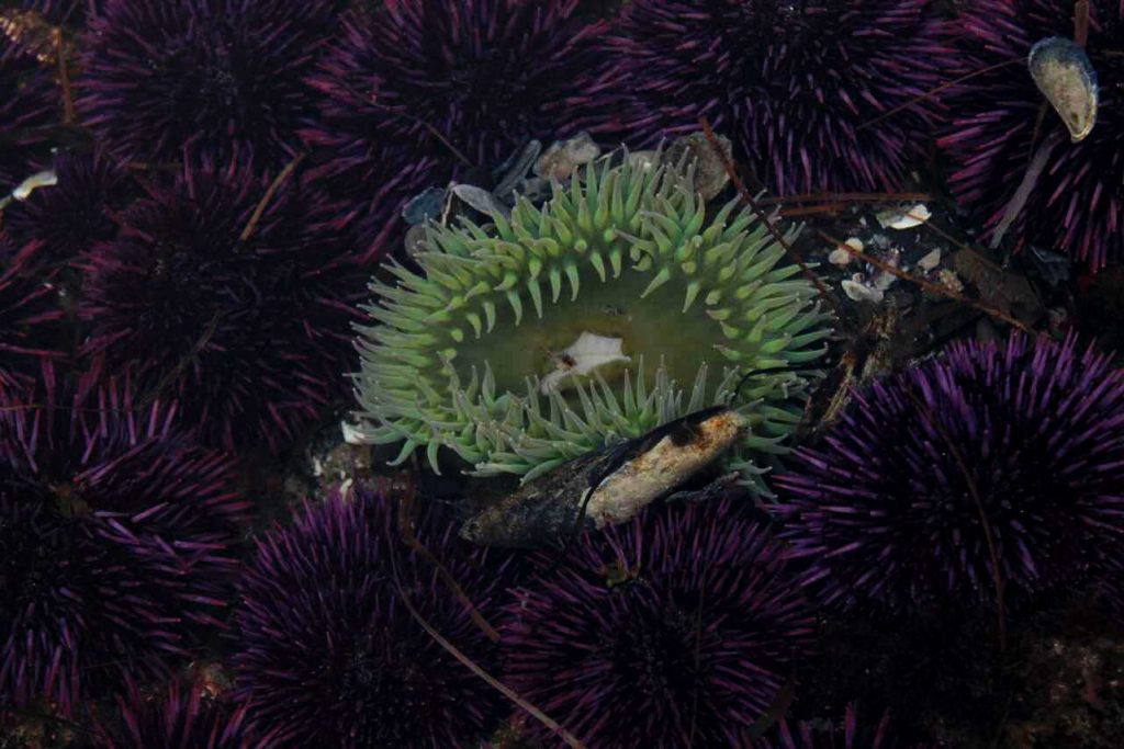 sea urchins and anemone