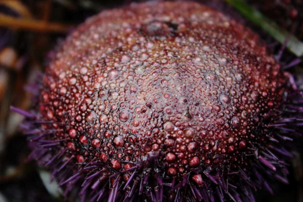 sea urchin with spines missing