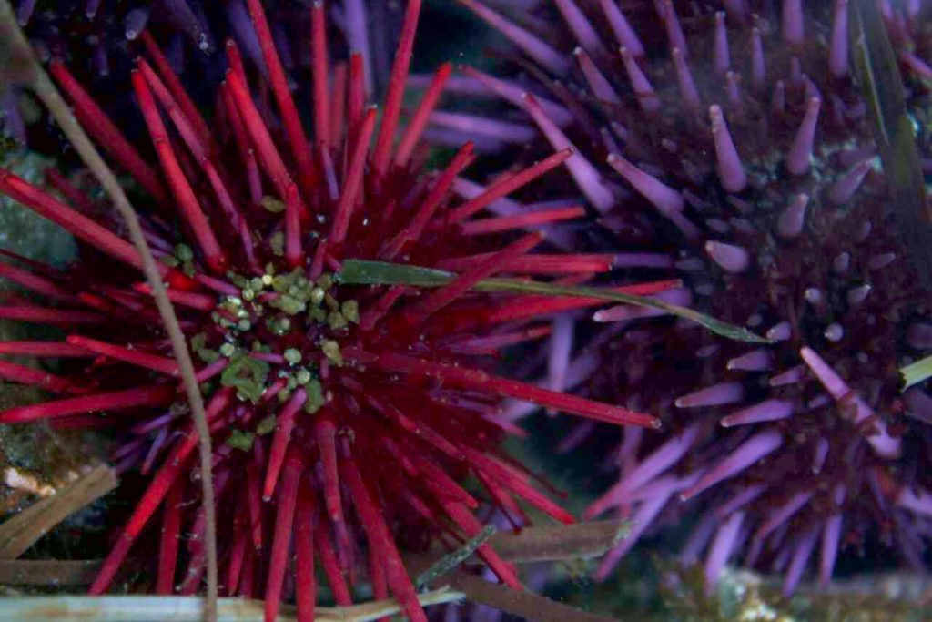 red and purple sea urchins